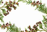 Cypress Leyland Leaf Border