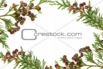 Cypress Leyland Leaf Border