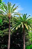 Tropical palm trees, Majorca.