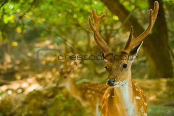 Formosan Sika Deer Forest H