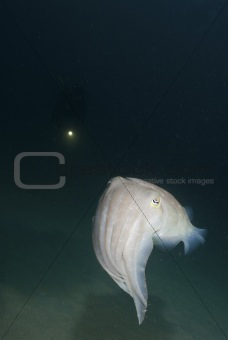 Cuttlefish closing in