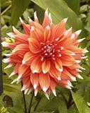 Dahlia bloom flower