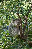 australian koala in a tree