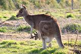 Mother kangaroo and joey