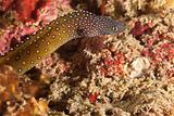 Spotty eel