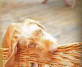 Vizsla Pup