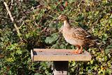Duck on a bird table