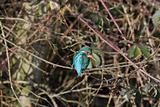 Kingfisher (Alcedo atthis)