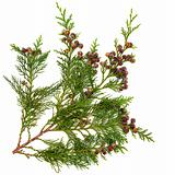 Cedar Leaves