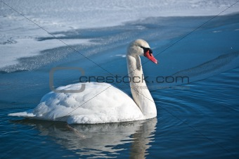 Mute Swan Swimming on an Icy Pond