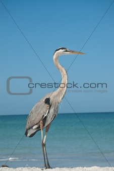 Great Blue Heron on a Florida Beach