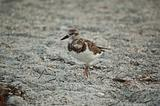 Sandpiper on a Florida Beach