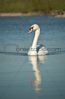 Mute Swan Swimming on a Pond