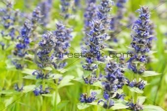 Cat Mint Lamiaceae flowers