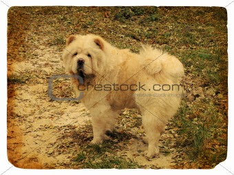 Dog breed Chow Chow. Old postcard.