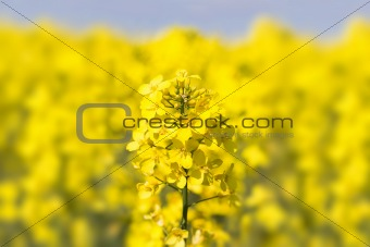 Close up of a Rape field