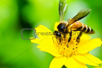 bee and Little yellow star flower  in green nature