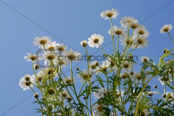 Camomiles over blue sky