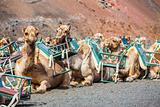 Some dromedaries at Timanfaya National Park