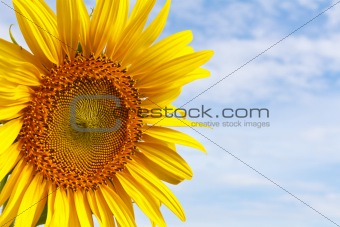 Closeup sunflower
