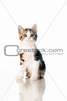 Kitten isolated on white backdrop
