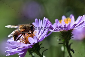bee on a violet flower