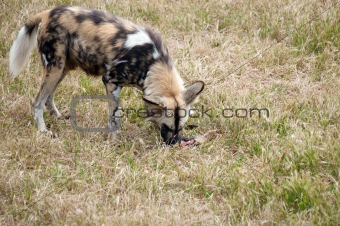 cape hunting dog eating meat