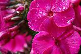 pink wet phloxes