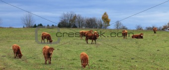 Herd of cattles
