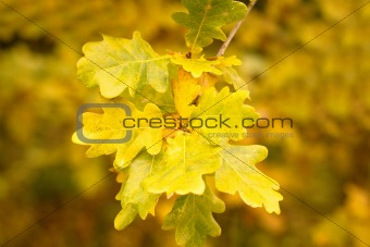 autumn colors of oak leaves