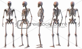 Skeletal structure of the Human Body, five views