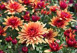 flowering chrysanthemums