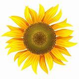 yellow flower of sunflower