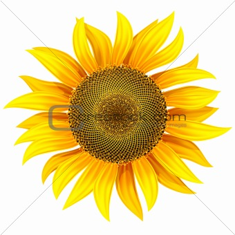 yellow flower of sunflower