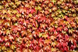 Close up of colorful autumn leaves growing on a wall.