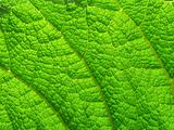 Natural background macro close up detail of a large vivid green leaf.