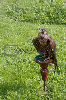 falcon sitting on a perch