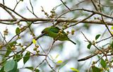 blue-eared barbet
