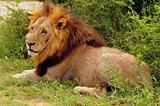 male lion