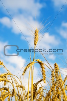 close up of ripe wheat ears against sky