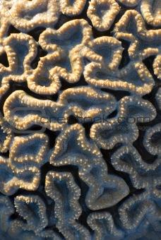 brain coral, Flavia SP