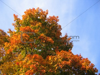 bright autumn tree