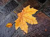 fall bright wet leaf