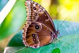 The Peleides Blue Morpho butterfly, Morpho peleides