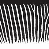 Pattern zebra fur, vector background, EPS10