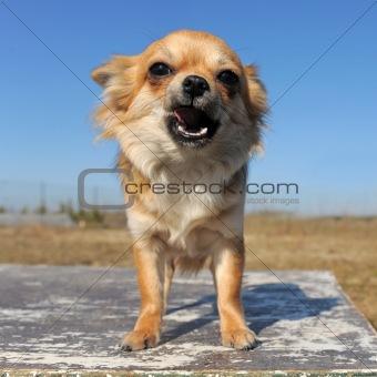 growling chihuahua