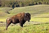 Male Buffalo In Yellowstone