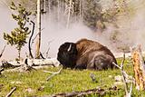 Buffalo Near Hot Spring