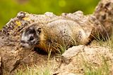 Baby Yellow-Bellied Marmot