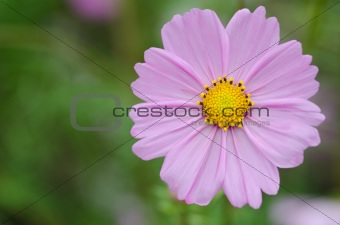 Single pink cosmos flower
